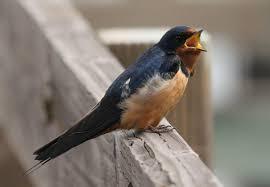 barn swallow audubon guide to north american birds