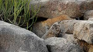 171128175131 ultimate india hotels sujan jawai leopard jpg