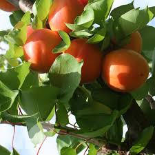 fruit by mail apricot flavourcot fruit trees for sale mail order