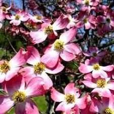 buy pink dogwood tree pink dogwood trees pink dogwood tree sale