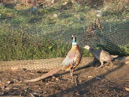 ringneck pheasant info page warning lots of pics backyard chickens