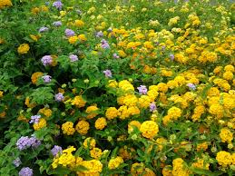 Yellow Flowering Bushes And Shrubs Drought Tolerant Resistant Plants Or Shrubs Gardening Flavours