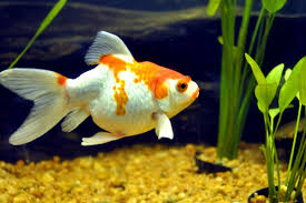 ornamental fish dafrak pets line