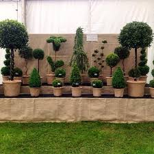 topiary trees real topiary trees bru003e we would like to say a really special