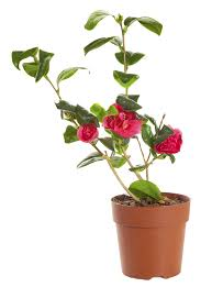 care for camellia in pots u2013 tips for growing camellias in containers