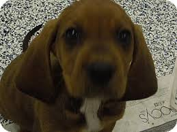 bluetick coonhound kennels in pa redbone pups adopted puppy washington pa redbone coonhound