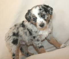 australian shepherd gray puppies for sale miniature australian shepherds