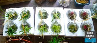 mini terrarium u0026 air plant tips craft organic