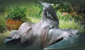 afghan hound job afghan hound review home facebook