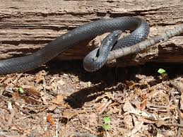 Snake In The Backyard by Common Non Venomous Snakes In South Carolina Www Scliving Coop
