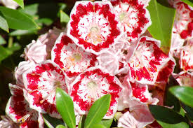 Flower Shrubs For Shaded Areas - 30 shrubs that grow in shade