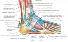 Tendon Synovial Sheath Studydroid Flashcards On The Web And In Your Hand