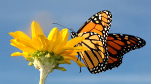 native plants that attract butterflies project will add native plants attract monarch butterflies to