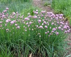 erba cipollina in vaso come coltivare l erba cipollina le piante aromatiche it