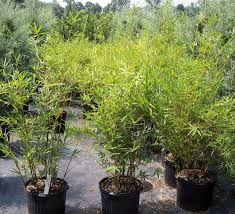 hedging plants budget wholesale nursery tropical plant nurseries wholesale miami florida golden goddess