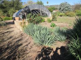 australian native plants nursery fast to establish dianella a grower u0027s trial