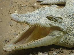free images wildlife reptile fauna mouth animals vertebrate