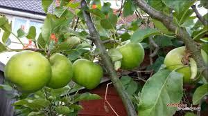 Apple Tree In My Backyard Flower To Fruit ᴴᴰ Apple Tree Development 2014 Youtube