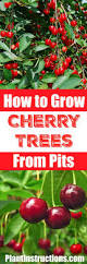 how to grow a cherry tree from seeds plant instructions