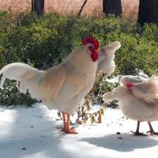 Chickens Backyard Pros And Cons Of Backyard Chickens Backyard Ideas