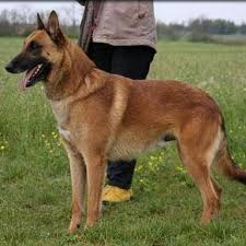 belgian shepherd vs doberman malinois dog topic youtube
