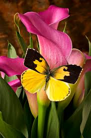 dogface butterfly on pink calla photograph by garry