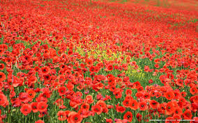 in flanders fields the poppies blow u0027 preparations are in full