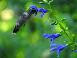 Hummingbird Plant Hummingbirds Smithsonian U0027s National Zoo