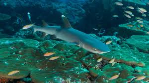 sharks spotted by divers in laamu atoll maldives