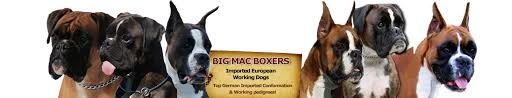 100 boxer dog big mac boxers u2013 for work play or show