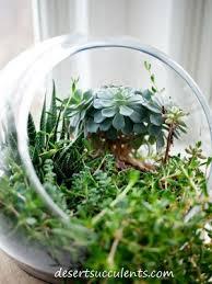 making a succulent terrarium desert succulents