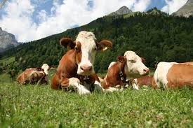 best hd wallpaper u0027s collection cows wallpapers 44 of cows