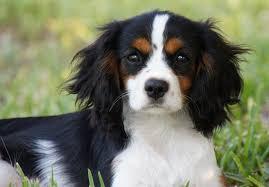 bichon frise z hter hessen cavalier king charles spaniel puppies for sale akc puppyfinder