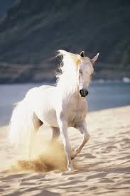 mustang horse running white horse running on the beach wall mural u0026 white horse running