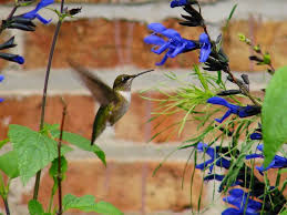 Hummingbird Plant Hummingbirds Are Requesting U0027black U0026 Blue U0027 Salvia Rotary