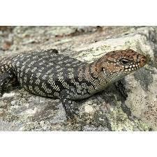lizards for sale melbourne amazing amazon