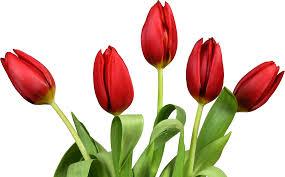 Ottoman Tulip by Tulip Alchetron The Free Social Encyclopedia