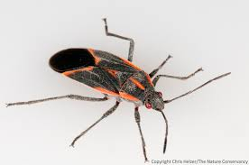 Pictures Of Tiny Red Bugs by Thank Goodness For Boxelder Bugs The Prairie Ecologist