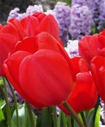 tulip parade giant darwin hybrids tulips flower bulb index