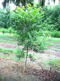 plantmegreen bare root pecan trees for sale buy pecan