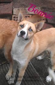 australian shepherd x pitbull hubby u0027s friend got a new puppy