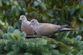 dove symbolism and meaning discover the dove spirit