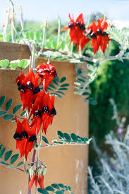don u0027s tips rare plants burke u0027s backyard
