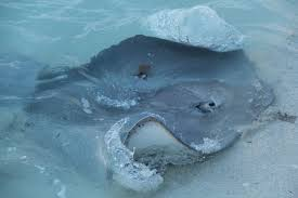 an stingray comes close to the shore for its daily feed of