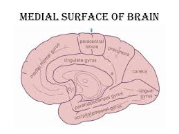 Image Of Brain Anatomy Anatomy Of Brain Sulcus And Gyrus Dr Sajith Md Rd