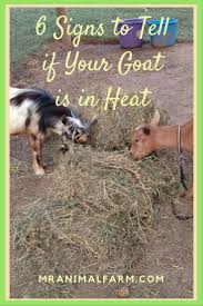 goat heat signs 6 signs to tell your goat is in heat goats
