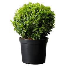 buxus sempervirens adds a classic round shape to a decorated plant