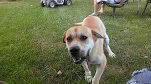 bluetick coonhound jack russell mix bluetick coonhound yellow lab mix