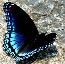 black butterfly with blue markings glowing blue black