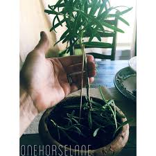 rosemary topiary home depot tree for sale followfirefish
